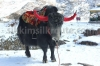 Yak at Changu Lake