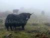 Wild yaks Nathang